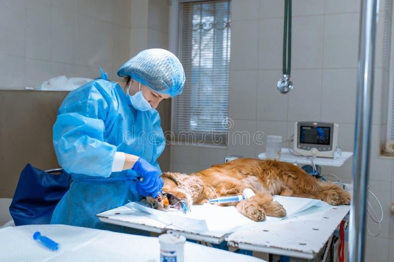 En veterinärkirurg borstar hans hundens tänder under anestesi på operationsbordet Sanitetsv?sen av det muntliga h?let i hundkappl royaltyfri fotografi