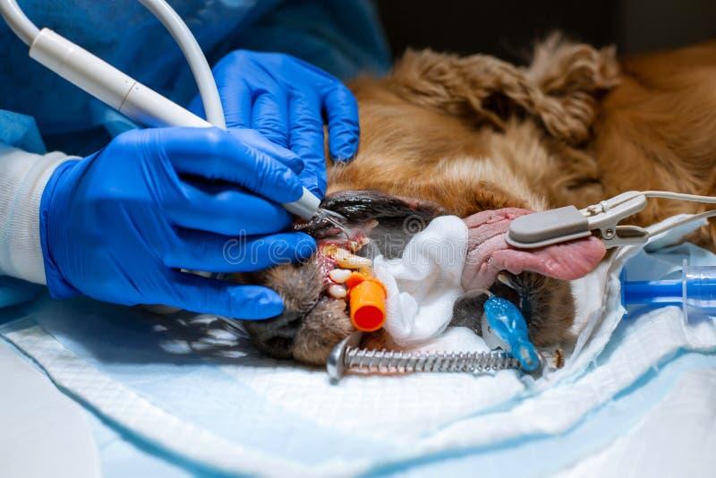 En veterinärkirurg borstar hans hundens tänder under anestesi på operationsbordet Sanitetsv?sen av det muntliga h?let i hundkappl arkivfoto
