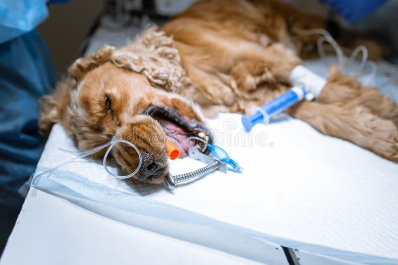 En veterinärkirurg borstar hans hundens tänder under anestesi på operationsbordet Sanitetsv?sen av det muntliga h?let i hundkappl royaltyfria foton