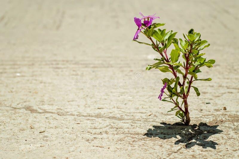 En vilken underbara värld: en ensam rosa blomma grundar dess väg till och med en grov asfaltbeläggningväg royaltyfria bilder