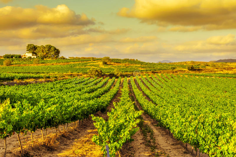 En vingård i ett medelhavs- land på solnedgången royaltyfri foto