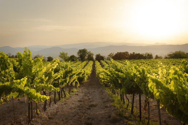 En vinyard i Frankrike fotograferade under en bedöva solnedgång royaltyfri fotografi