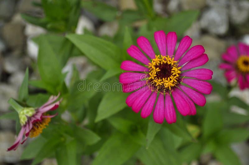 En violett blomma i vändkretsarna arkivbilder