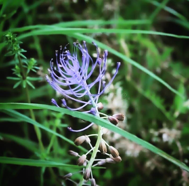 En violett nyfiken blomma i fältet arkivfoton