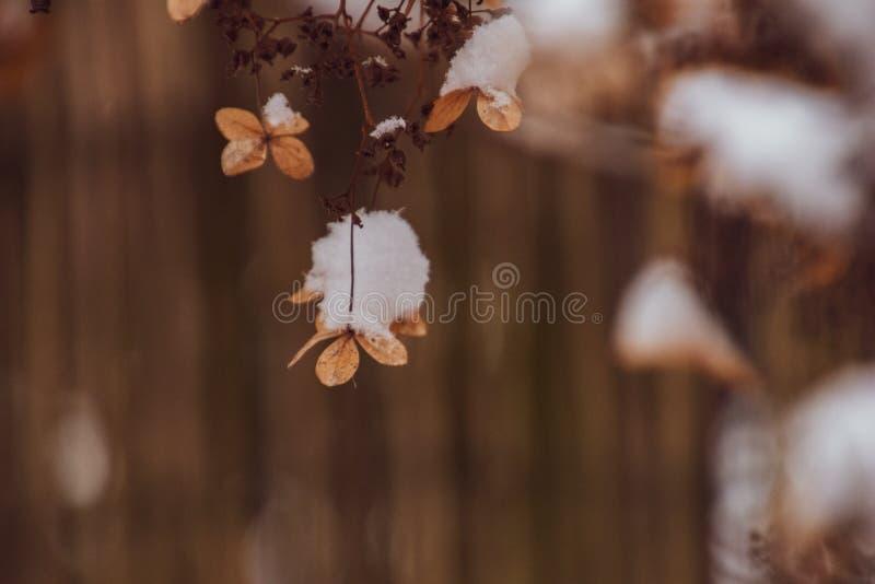 En vissen delikat blomma i tr?dg?rden p? en kall frostig dag under fallande vit sn? arkivfoto