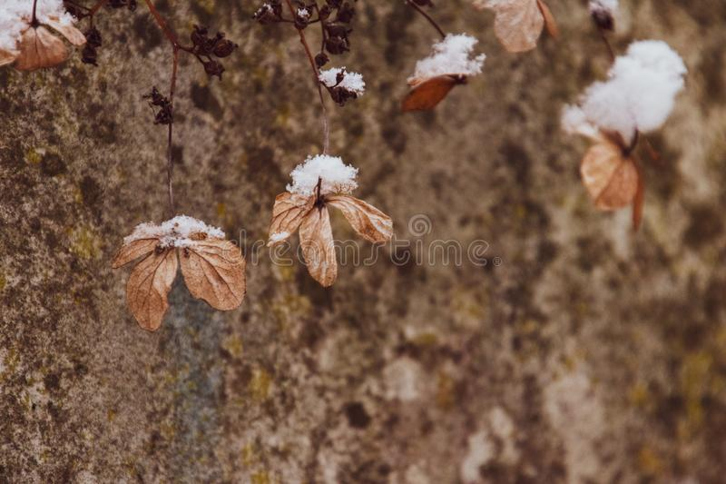 En vissen delikat blomma i tr?dg?rden p? en kall frostig dag under fallande vit sn? royaltyfria foton