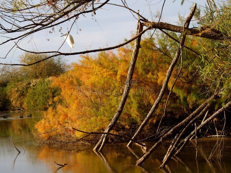 En vit ägretthäger sätta sig på ett stupat träd på en strand- sjö royaltyfri fotografi