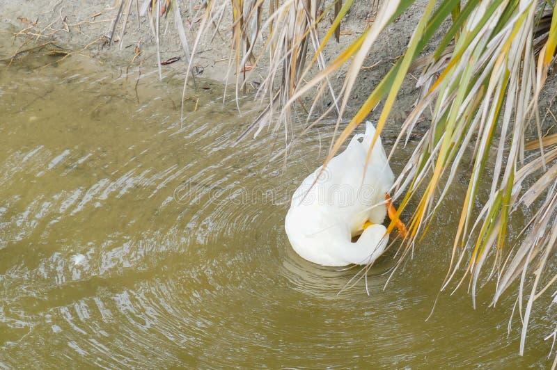 En vit and är att picka för fjäder arkivfoto