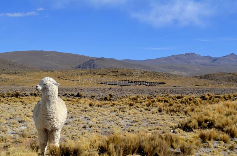 En vit Alpaca i Anderna berg, Peru royaltyfria bilder