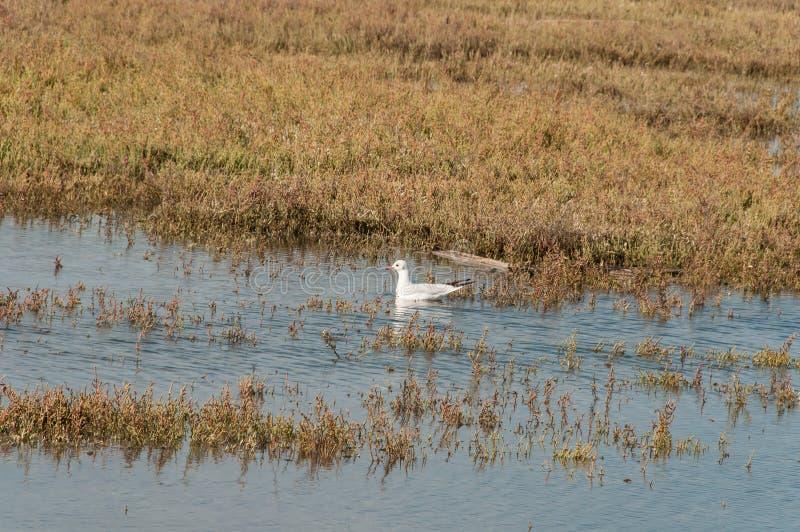En vit fågelsimning i en liten vik royaltyfria foton
