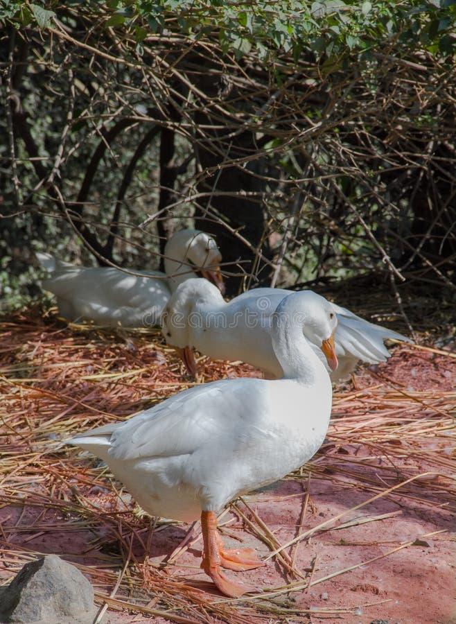 En vit gås på orange gräs arkivfoton