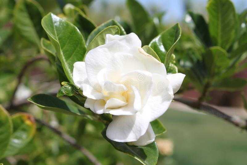 En vit gardeniajasminoidesväxt royaltyfria bilder