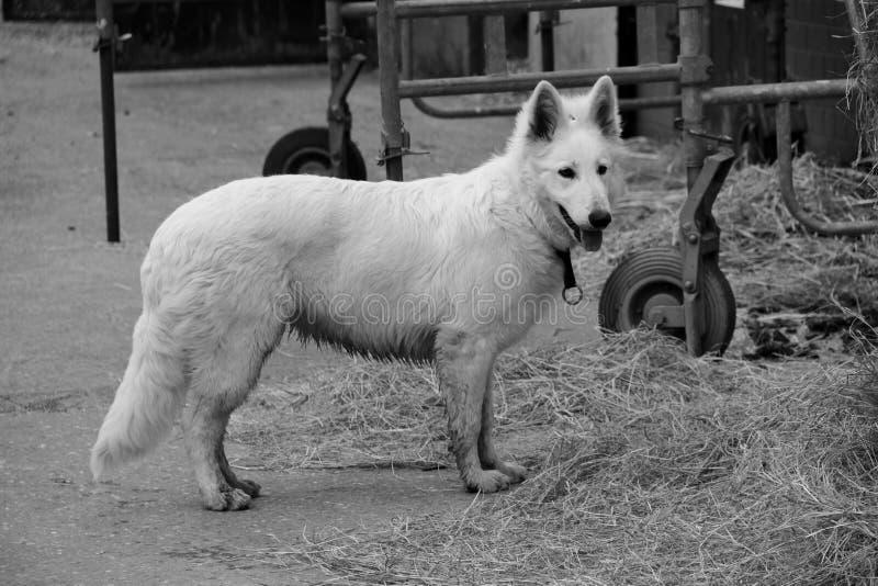 En vit hund royaltyfria bilder