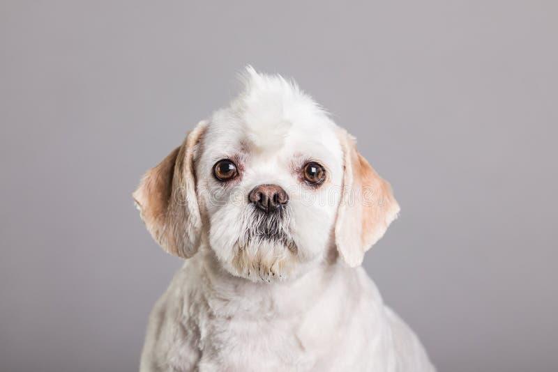 En vit hund med en mohawk arkivfoto