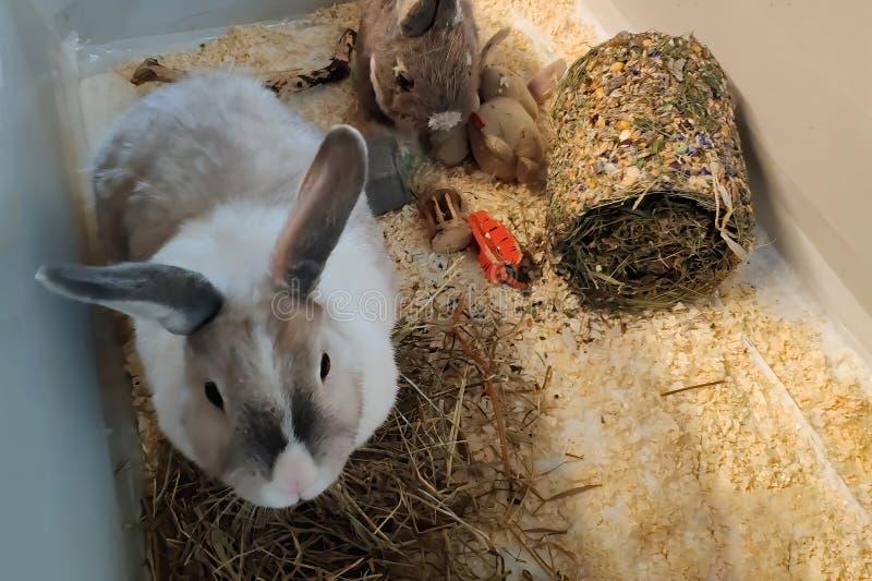 En vit kanin med ett grått band hoppar i hans bur fotografering för bildbyråer