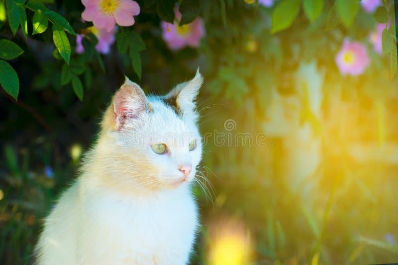 En vit katt sitter på jordningen i gräset under en buske av rosor och ser framme Bild med tonen royaltyfri bild