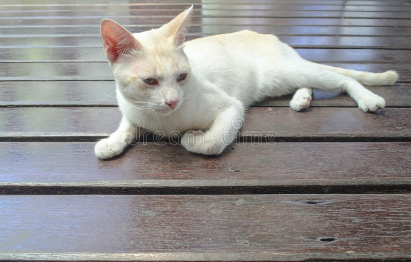 En vit katt som tänker eller ser men kanske har det ` s, att sova royaltyfri fotografi