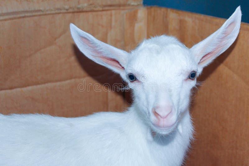 En vit liten get med stora öron och blåa stora ögon djurlantg?rdliggande sommar f?r m?nga sheeeps royaltyfria bilder