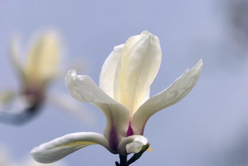 En vit magnoliablomma mot himlen och en försiktig bokeh royaltyfri foto