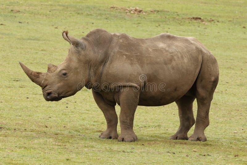 En vit noshörning på den Boteilierskop reserven royaltyfri foto