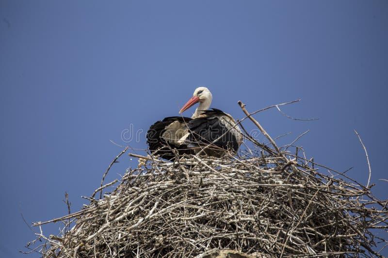 En vit stork i dess rede royaltyfri foto