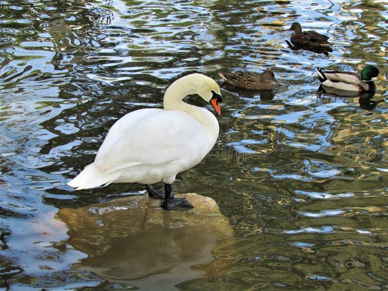 En vit svan med änder i ett damm royaltyfri bild