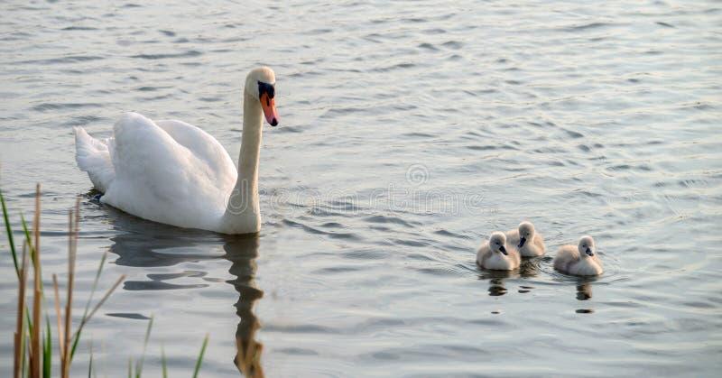 En vit svan med tre fågelungebad runt om sjön royaltyfri fotografi