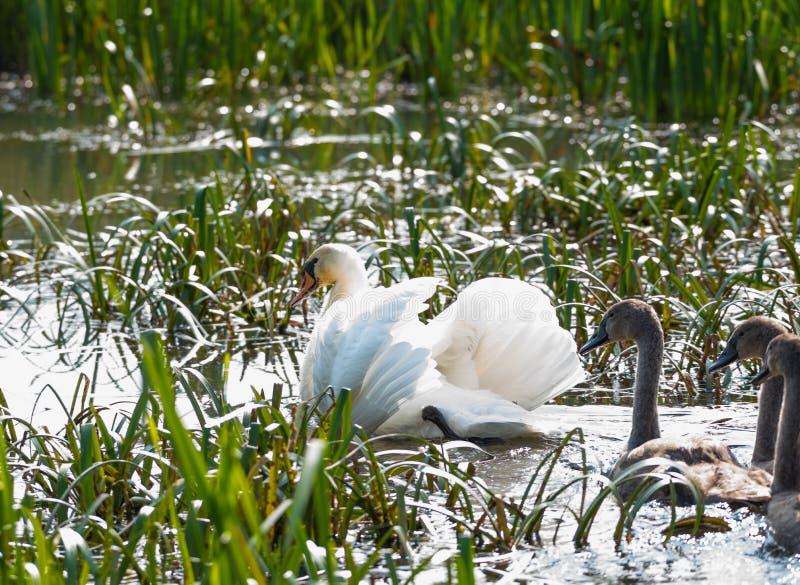 En vit svan och tre gråa fågelungar simmar över sjön between arkivbilder