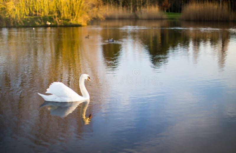 En vit swan på en lake royaltyfri bild