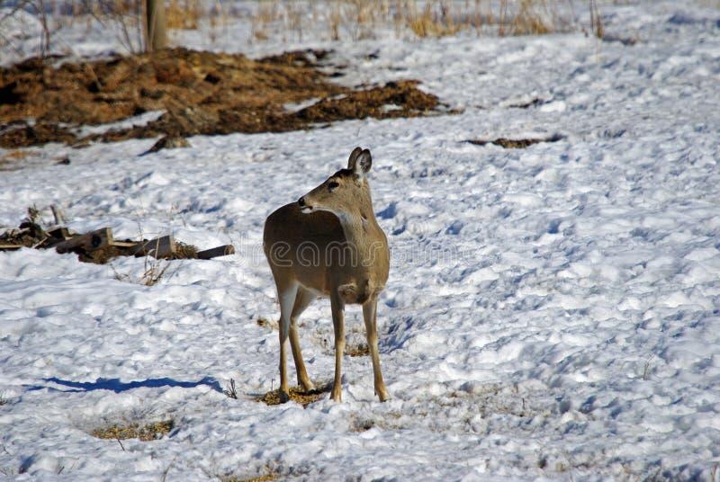 En vit Tailed Doe i vinter royaltyfria bilder