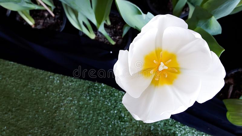 En vit tulpan på den bästa sikten royaltyfria foton