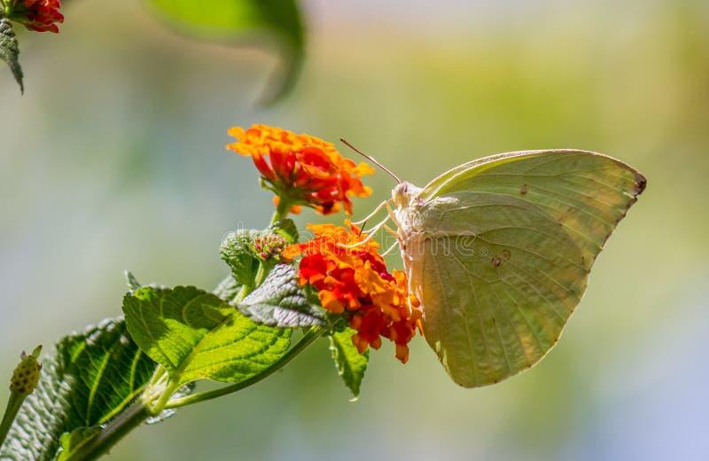 En vit ung fjäril som sitter på växten royaltyfri bild