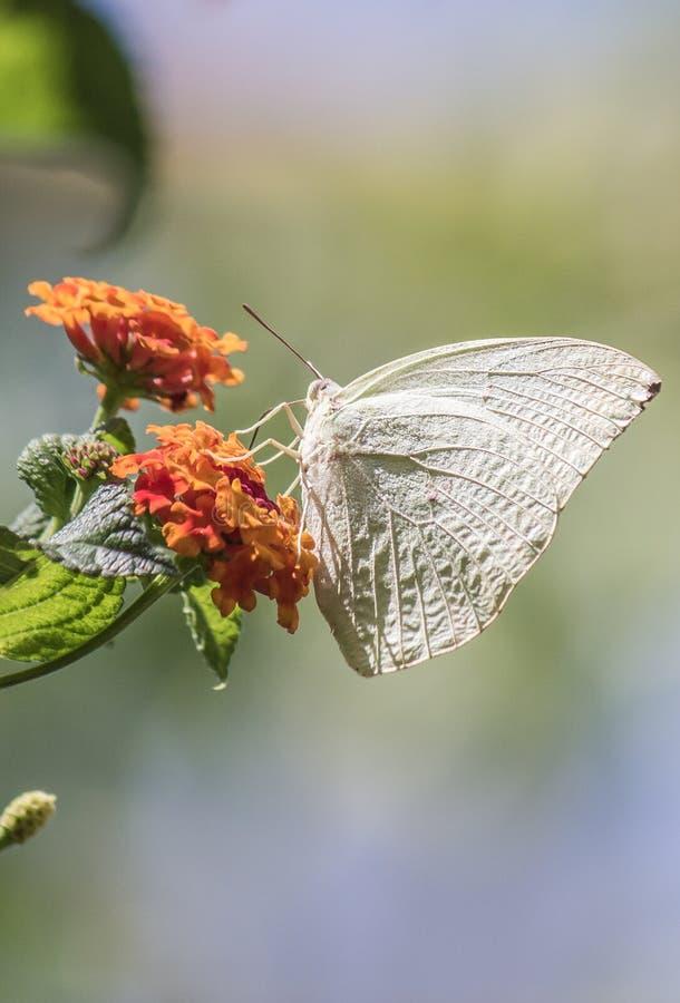 En vit ung fjäril som sitter på växten royaltyfri fotografi