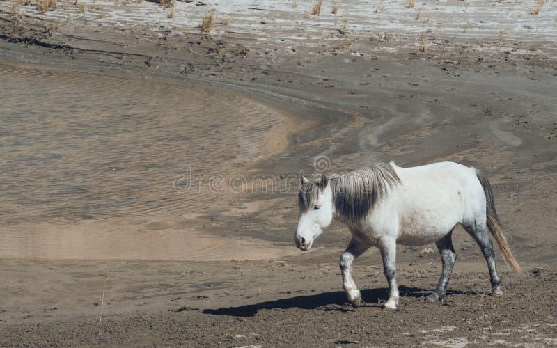 En vit vildhäst som går på öken arkivfoton