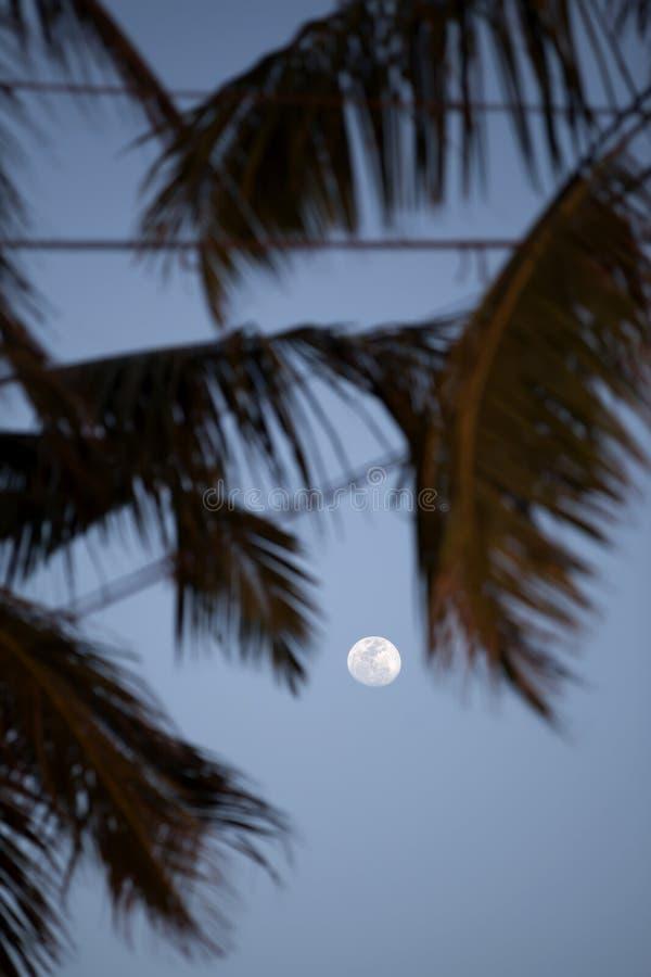 En vitfullmåne skiner mellan palmträdsidor på den blåa aftonhimlen på den tropiska ön Sri Lanka royaltyfri foto