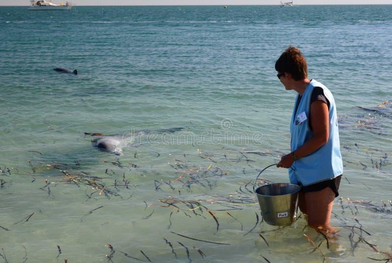 En volontär som är klar att mata en delfin Apa Mia Hajfjärd Västra Australien arkivbilder