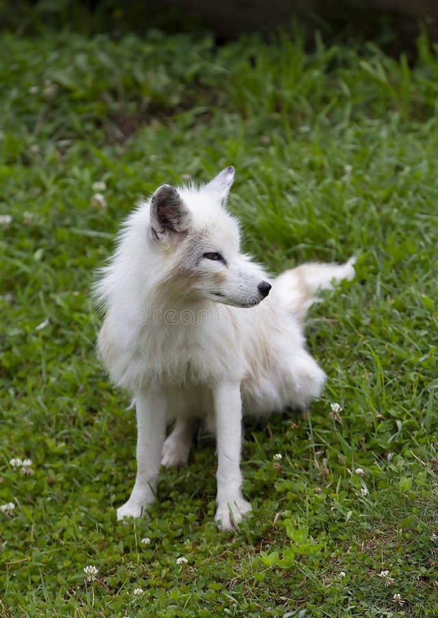 En Vulpeslagopus för arktisk räv som går till och med ett gräs- fält i höst royaltyfri foto