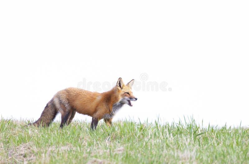 En Vulpesvulpes för röd räv som kallar hennes satser på en gräs- kulle i vår i Kanada fotografering för bildbyråer