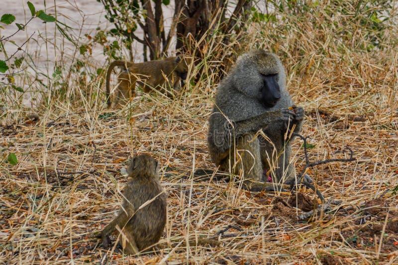 En vuxen man med två närliggande unga olivgröna babianer i den Tarangire nationalparken Tanzania royaltyfri fotografi