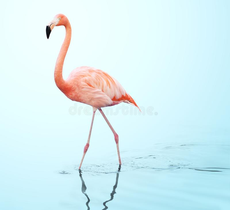 En vuxen rosa flamingo som går på vatten royaltyfria bilder