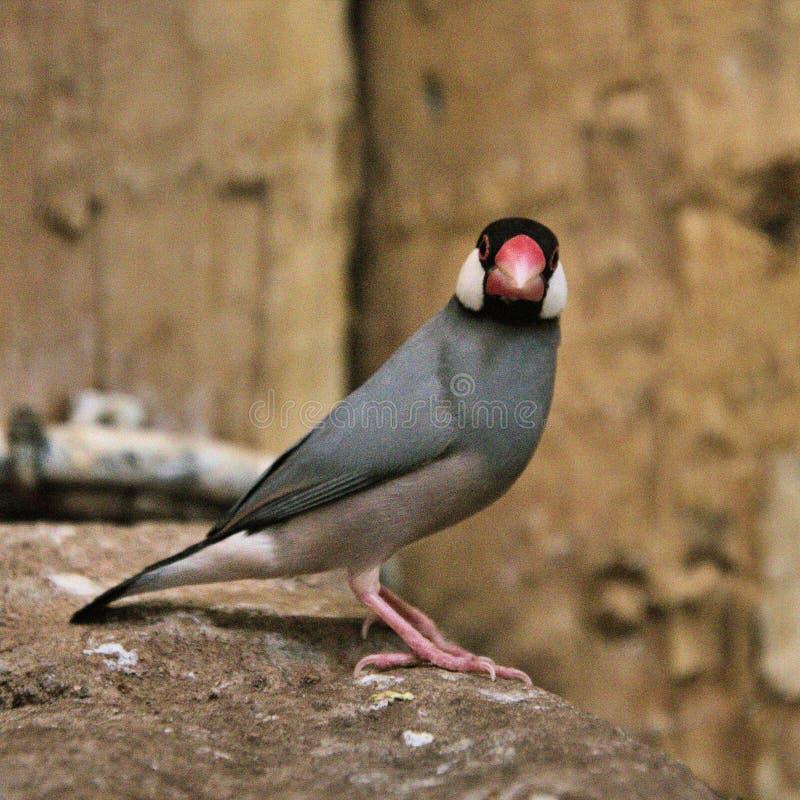 En vy av en Java Sparrow fotografering för bildbyråer