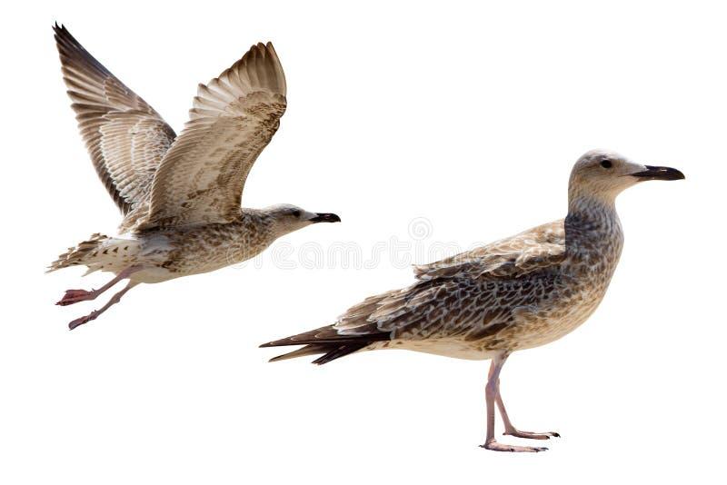En zeemeeuwvogel die bevinden zich vliegen geïsoleerde stock afbeeldingen