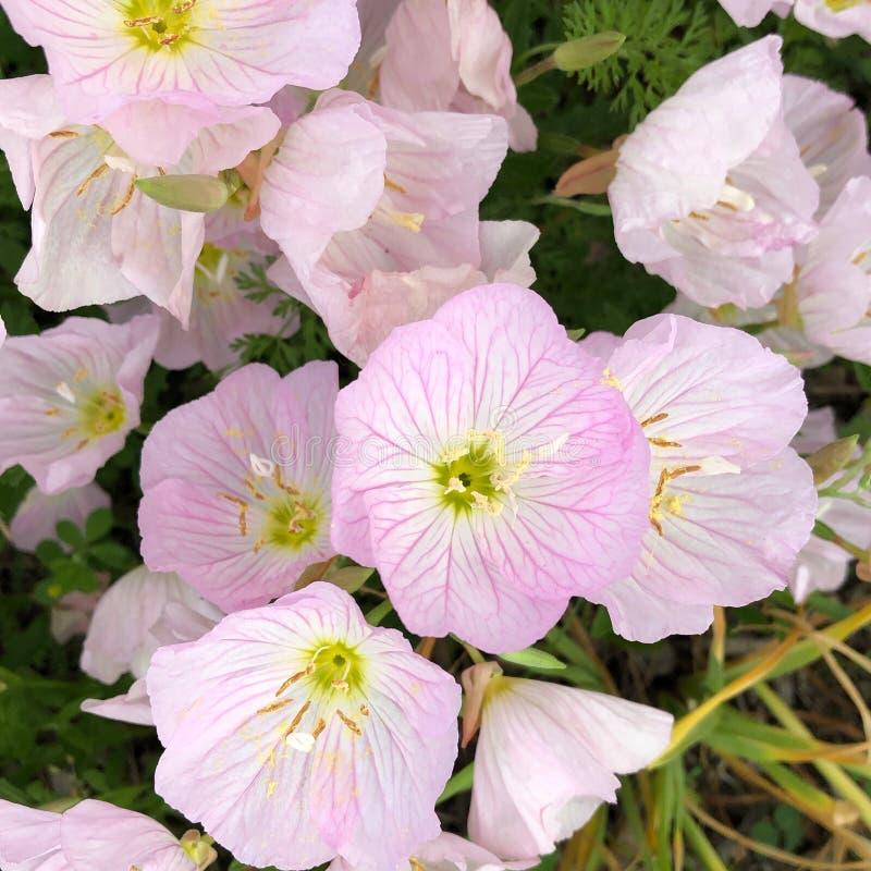 Enagre vistose che fioriscono in Tarrytown, New York immagine stock
