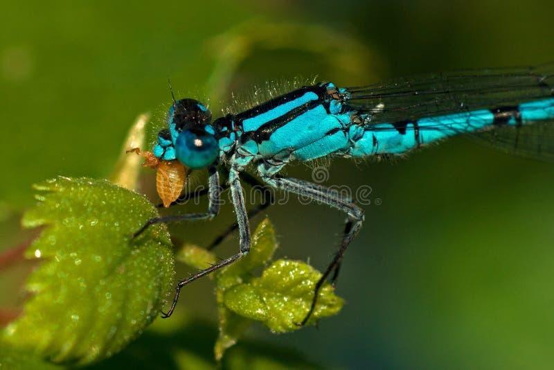 Enallagma cyathigerum, gemensam blå Damselfly med rovet royaltyfri foto