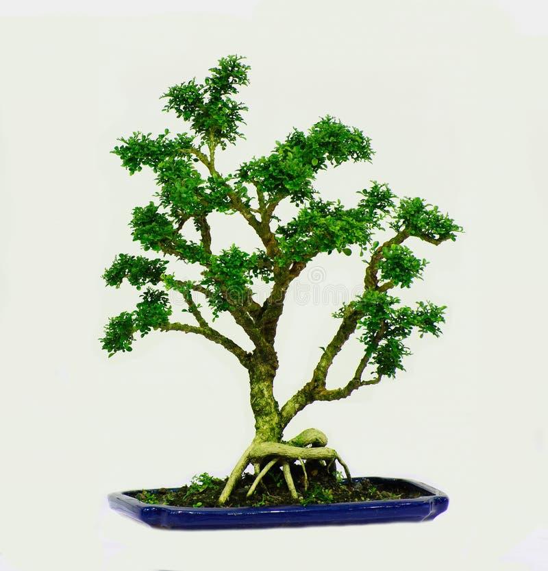 Enano aislado del paniculata de Murraya del árbol de los bonsais imágenes de archivo libres de regalías