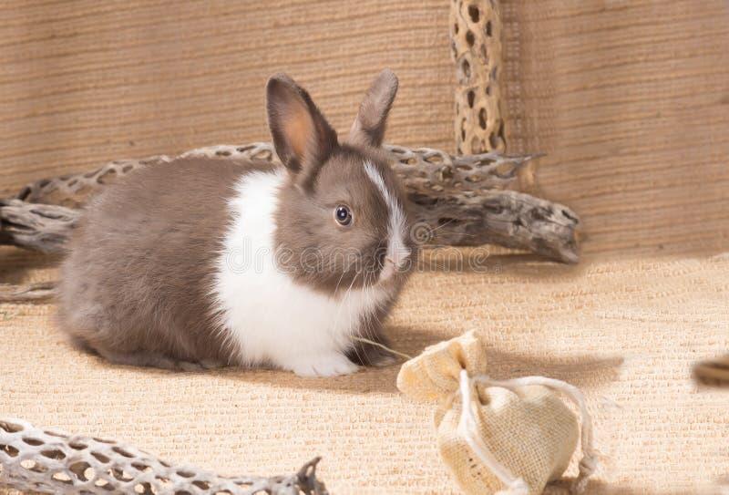 Enano holandés gris y blanco del conejo en harpillera Un mes foto de archivo