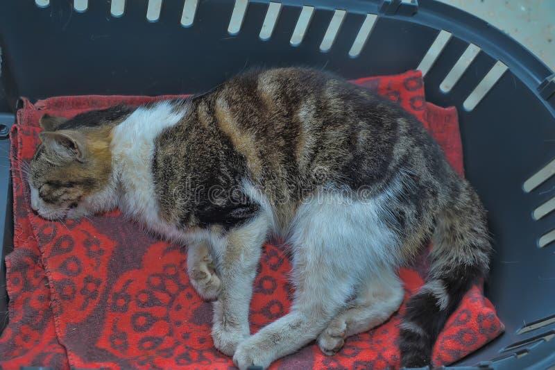 Enbart katt ligger nere på veterinärkliniken fotografering för bildbyråer