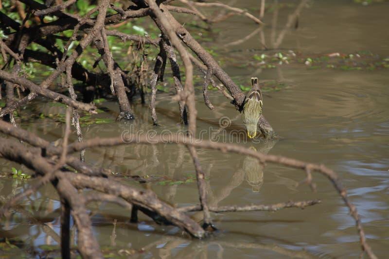 Enbeklädd kanariefågel som ner når för att dricka arkivfoton