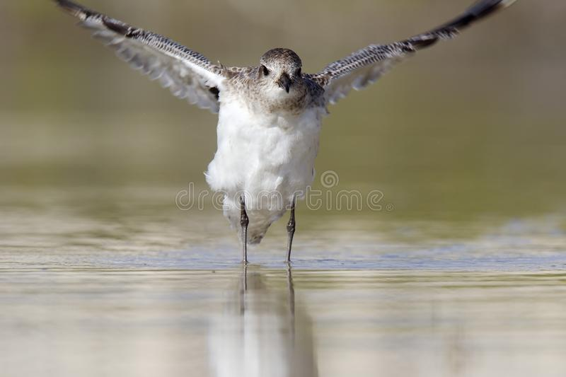 Enbuktad brockfågel som sträcker dess vingar når att ha haft ett bad i ett grunt damm på fortet Myers Beach Florida fotografering för bildbyråer