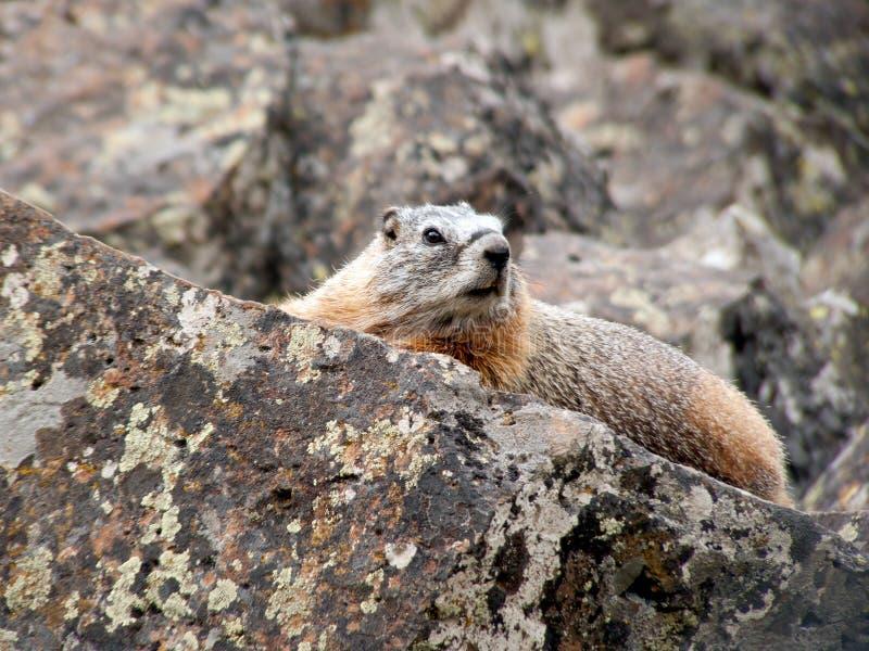 Guling-buktad Marmot i Yellowstone royaltyfria foton